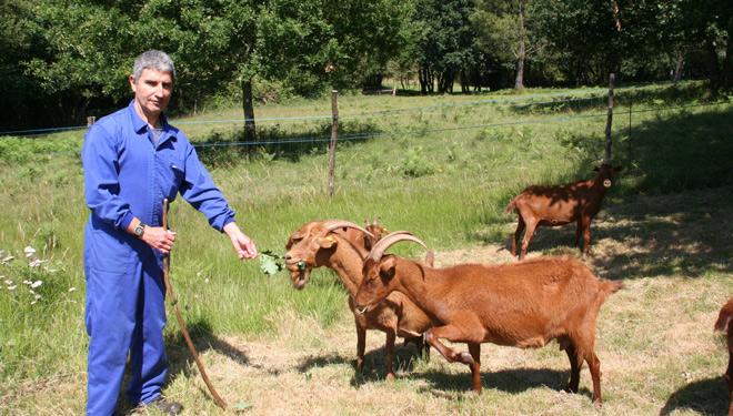 Cabrizanca, desbroce natural de fincas con cabras