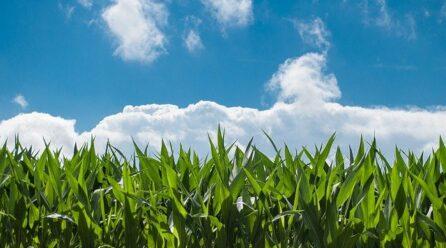 El maíz en la cultura gallega